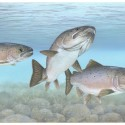 Image for In The News: FDA Approves Genetically Modified Salmon; Pfizer and Allergan to Merge in $160 Billion Deal; NY Department of State Denies Critical Indian Point Certification;
