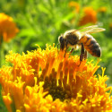 Image for Take Action: Help Bring to Light Research That Could Save the Bees; Stop the Native American Land Grab; Save The Wolves