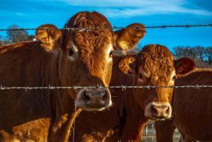 cow-1955406_1280