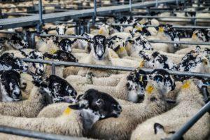 sheep-678196_1280